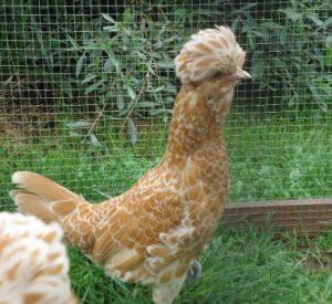 poule Padoue