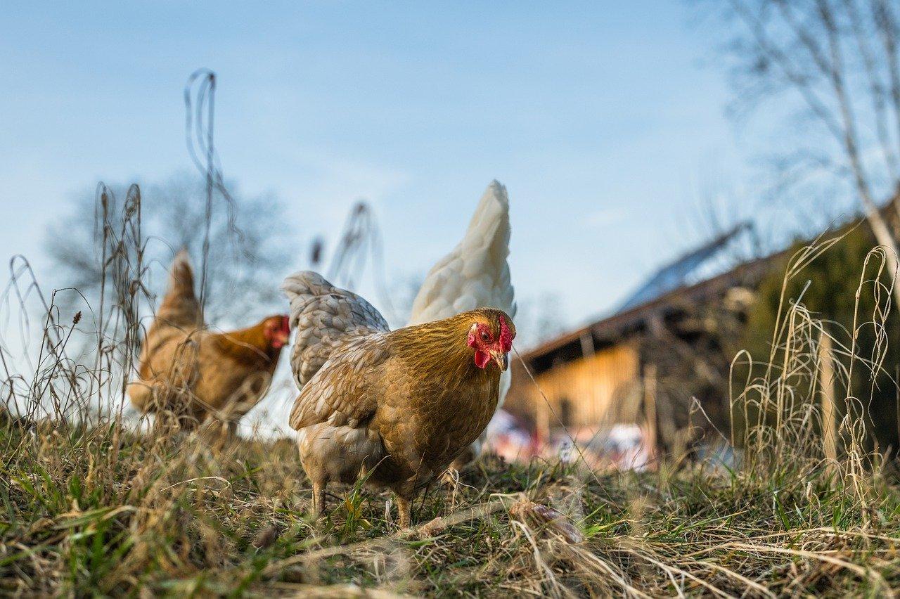 7 races de poules qui résistent bien au froid